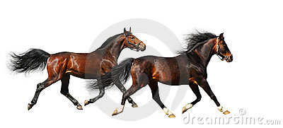 Two stallions trot