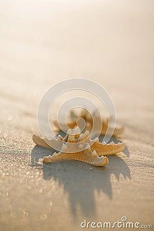 Two starfish on golden sand beach, soft gentle sunrise light col