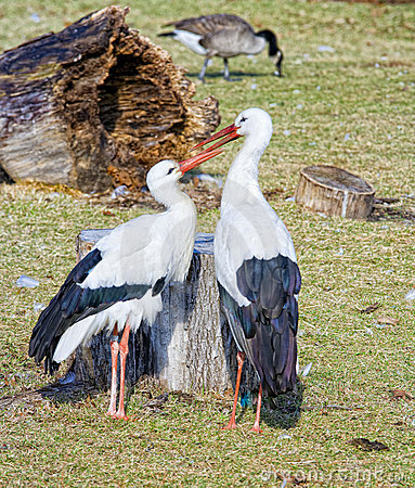 Free Two Storks Royalty Free Stock Images - 6310359