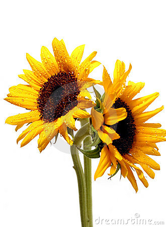 Free Two Sunflowers On White Stock Images - 442044
