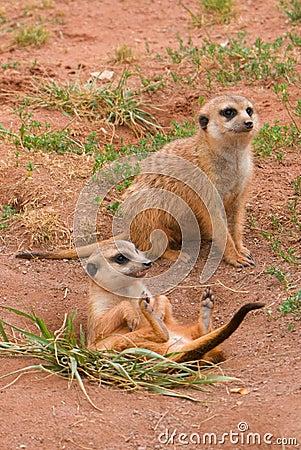 Two Suritcates, or Meerkats (Suricata suricata)