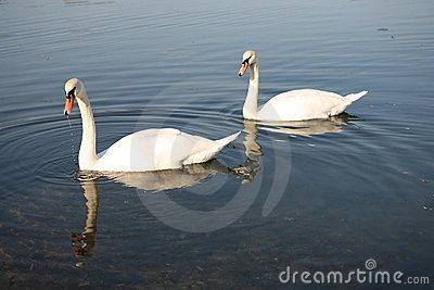 Two swan on lake