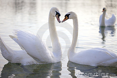 Two Swan in love