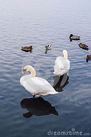 Free Two Swans And Ducks On Pond. Stock Photos - 95911153