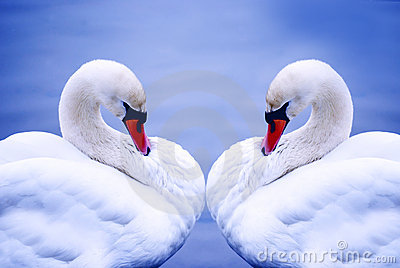 Two swans on blue
