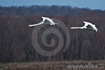 Two Swans Flying In Unison