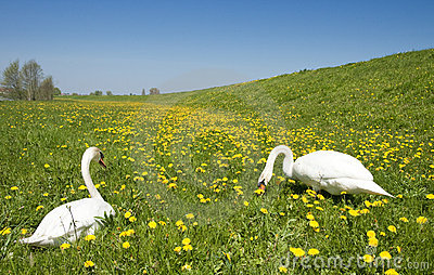 Two swans in meadow