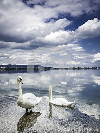 Free Two Swans On The Shore Royalty Free Stock Photography - 32935527