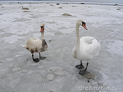 Two swans,one is covered with oil