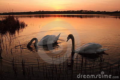 Two swans at sunset on a calm lake