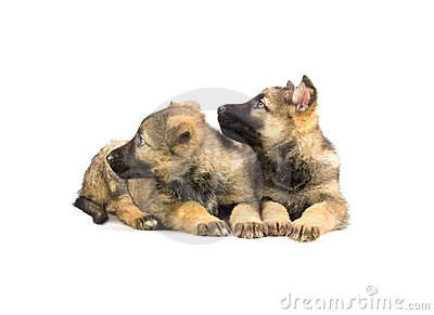 Two sweet Germany sheep-dog puppies