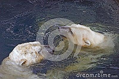 Two Swimming Polar Bears