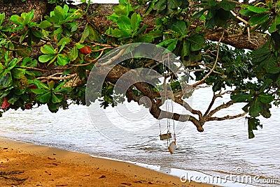 Two swings on a tree in Kauai Hawaii