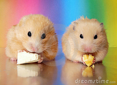 Two syrian hamsters eating dinner together