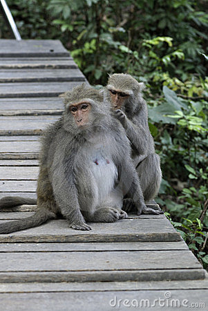 Two Taiwan macaques
