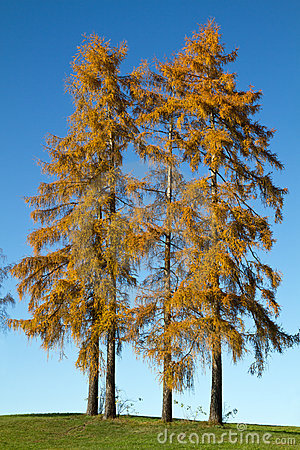 Two tall autumnal larch trees