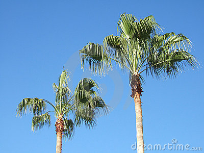 Two Tall Palm Trees