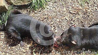 Two Tasmanian devils eating. In Tasmanian Devil Park. Australia stock video