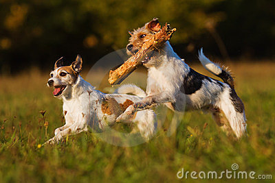 Two terrier in action