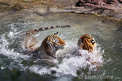Two Tigers (Panthera tigris altaica) Play in Water