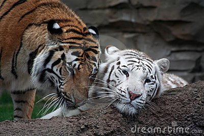 Two tigers are playing