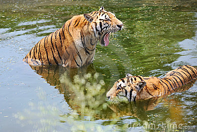 Two tigers in water