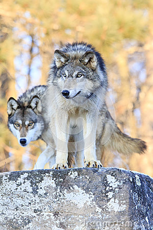 Free Two Timber Wolves On Ridge Stock Photo - 84253750
