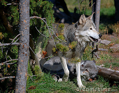 Two Timber Wolves by Tree