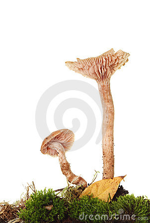 Two toadstools