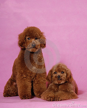 Two Toy Poodles&teddy bear