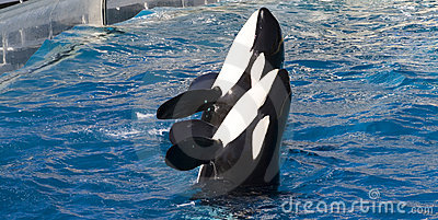 Two Trained Killer Whales