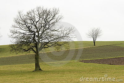 Two trees on a field