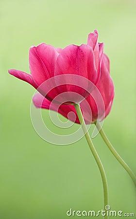 Free Two Tulips Stock Photos - 5300643