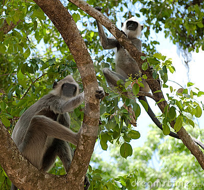 Two vervet monkey in tree