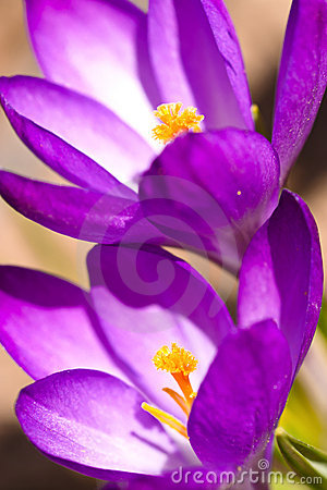 Two violet crocus