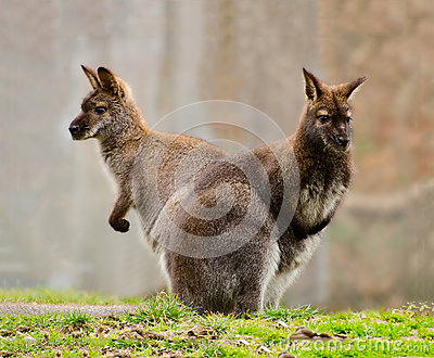 Two Wallabies