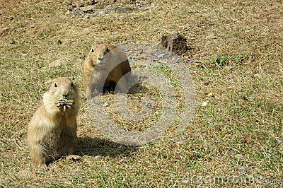Two Watchful Black-tailed Prairie Dogs (Cynomys ludovicianus)