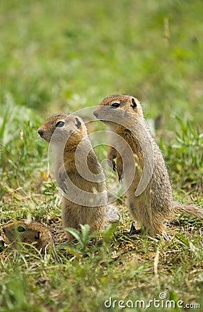 Two watchful gound squirrels