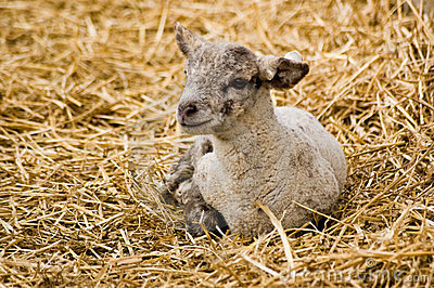 Two week old lamb resting