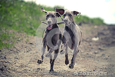 Two Weimaraner dog