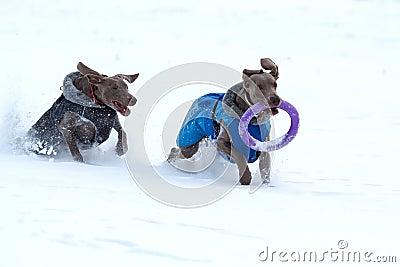 Two weimaraner dog runs and plays