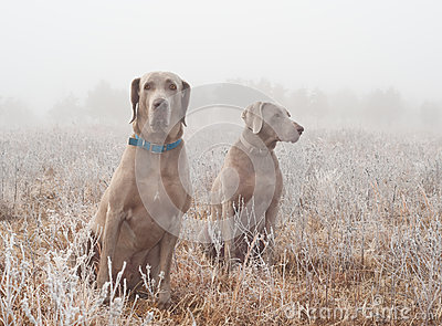 Two Weimaraner dogs in heavy fog