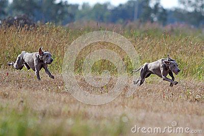 Two Weimaraner dogs run