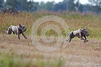Weimaraner Puppies on Stock Image  Two Weimaraner Dogs Run  Image  25924311