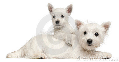 Two West Highland Terrier puppies, 4 months old