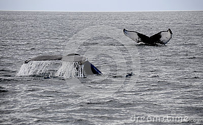 Two whales tails in ocean