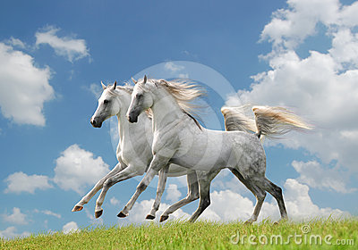 Two white arab horses in the field
