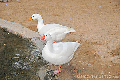 Two white arabian ducks