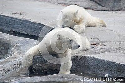 Two white bear cub