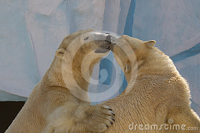 Two white bears are kissing